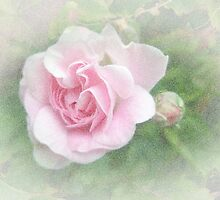 Pink Climbing Rose by MotherNature