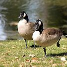 Canada Geese by Lori Peters