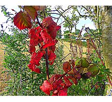 Red Leaves And Stubble Photographic Print