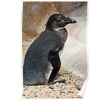 Penguin Posing Poster