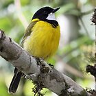 Golden Whistler by triciaoshea