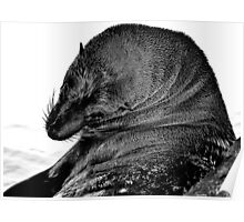 Australian Fur Seal B&W Poster