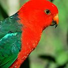 King Parrot Profile by Penny Smith