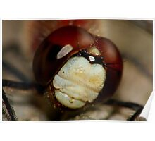 White-faced Meadowhawk  Poster
