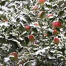 apples  under the snow by mrivserg