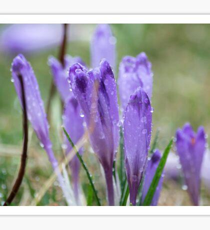 Purple crocuses in the rain. Nature background Sticker