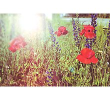Flower background. Vintage background of red wild poppies and grass Photographic Print