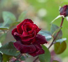 Rose of Autumn by Irina777