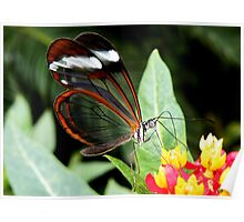 Glasswing Butterfly on Santana Poster