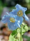 Blue Poppies by AnnDixon