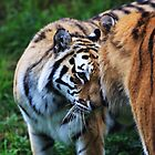 Two Siberian Tigers by Sheila Smith