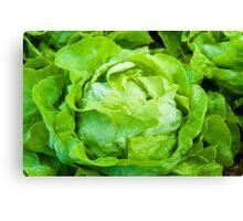 Closeup on fresh wet lettuce in the garden Canvas Print