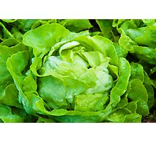 Closeup on fresh wet lettuce in the garden Photographic Print