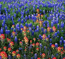 Field of Texas Paintbrush and Bluebonnets, Inks Lake State Park, Texas by alex25