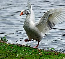 Goose In a Flap by Nick Jenkins