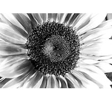Sunflower 14 BW Photographic Print