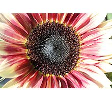 Sunflower 14 Photographic Print