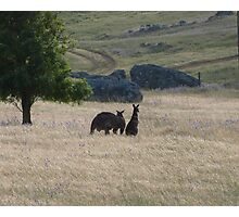 Big Dad & Floe in the paddock, 'Arilka' Adelaide Hills. S.A. Photographic Print
