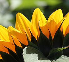 Sunflower 16 by marybedy