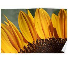 Sunflower 17 Poster