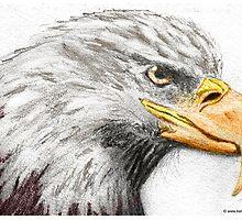 American Bald Eagle by keefrog