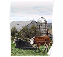 Country Cows Say Moo Poster