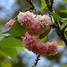 Flowering Cherry by Gabrielle  Lees