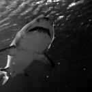 shark- Sea life Aquarium 2014  black and white  by eisblume