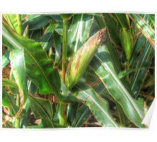 Corn Crop Poster