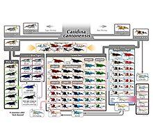 Caridina cantonensis Family Tree Photographic Print