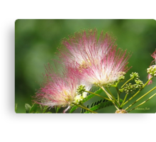Mimosa ~  An Exotic Flowering Tree Canvas Print