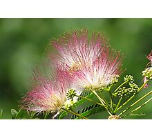 Mimosa ~  An Exotic Flowering Tree Photographic Print