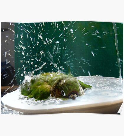 Splish!! Splash!! Splosh!! - Bath Time Maroon-Bellied Conure - NZ Poster