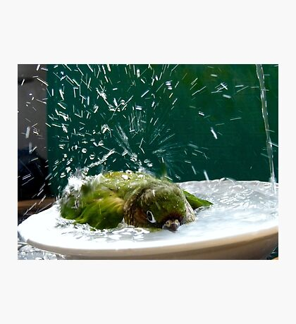 Splish!! Splash!! Splosh!! - Bath Time Maroon-Bellied Conure - NZ Photographic Print