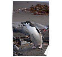 Chinstrap penguin Poster