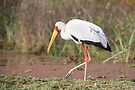 Yellow-billed Stork Feeding by Carole-Anne