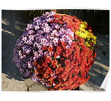 Chrysanthemums planted together Poster