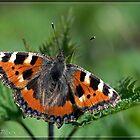 Tortoiseshell Butterfly by DonMc