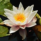 Water Lily  by Sparowsong