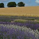 Lavender fields.  by Sparowsong