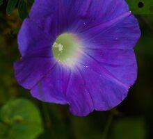 Carnic Purple by Mario Morales Rubi
