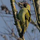 Green Woodpecker - I (Picus viridis) by Peter Wiggerman
