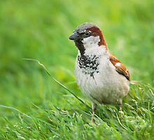 Male House Sparrow by Dominika Aniola