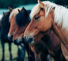 Icelandic Horses by Alessio Michelini