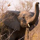 Elephant taking scent by Erik Schlogl
