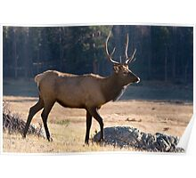 Young bull in Rocky Mountain NP Poster