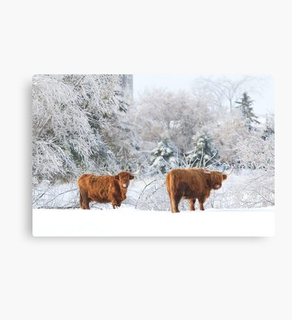 Highland Cattle in winter Canvas Print