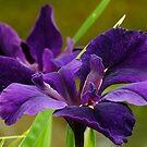 Purple Louisiana Iris by Gabrielle  Lees