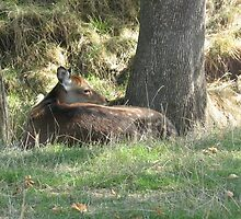 Fawn at rest by PamWick