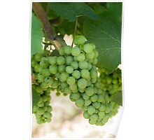 grape and vineyard in spring Poster